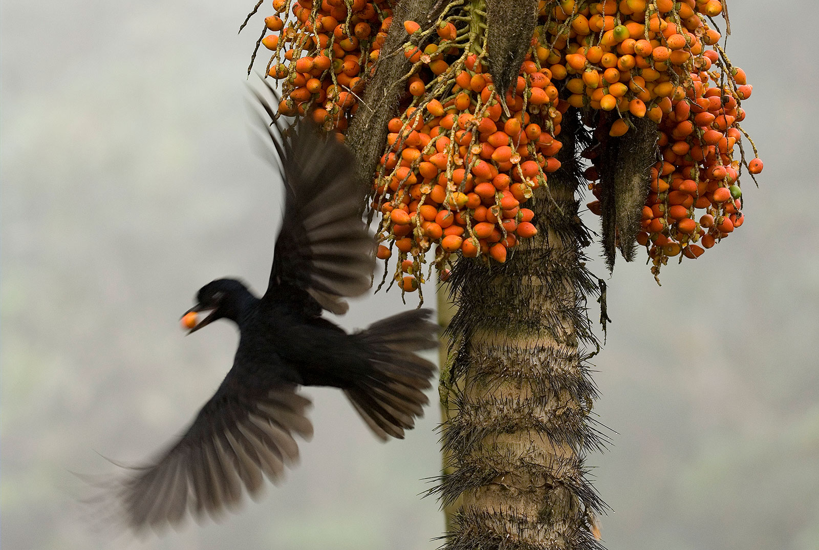 A bird flies away from a fruit-laden tree after taking a bright orange fruit for itself