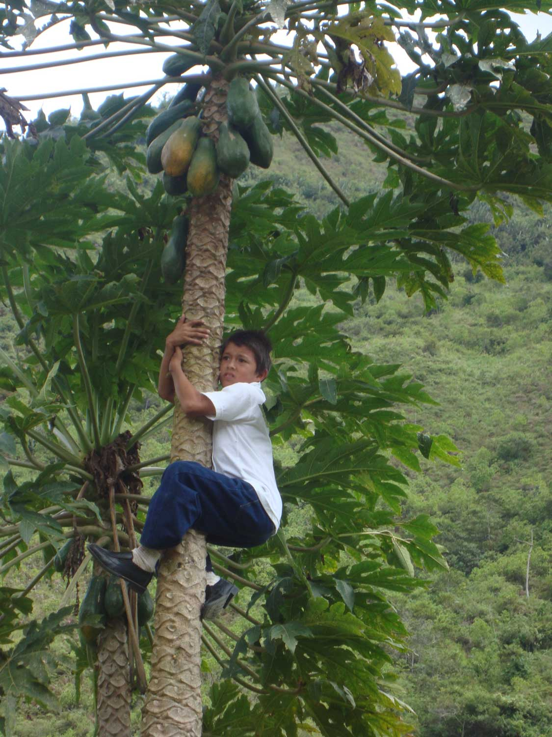 A young boy climbs a papaya tree