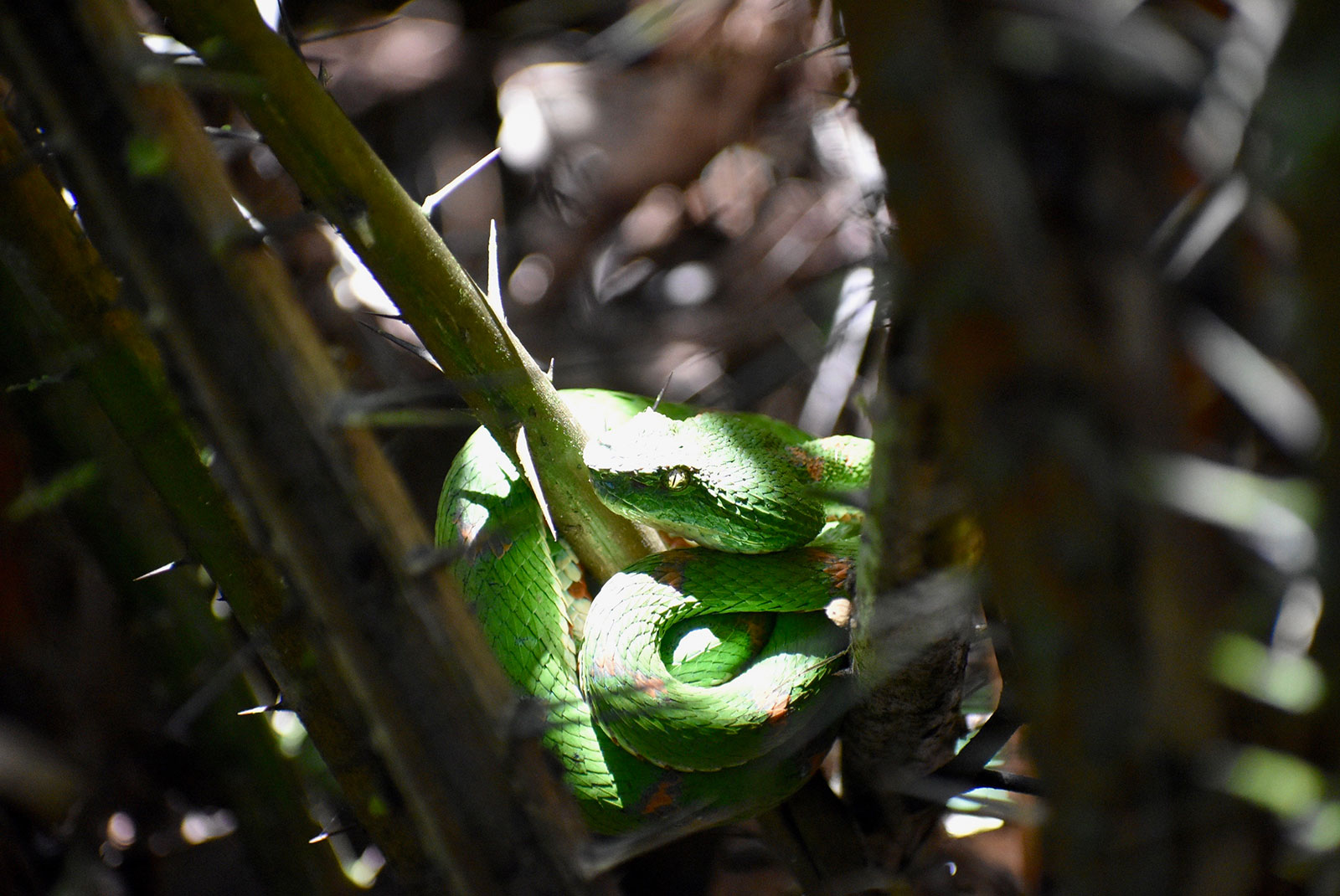 A bright green snake coiled among a thorny plant