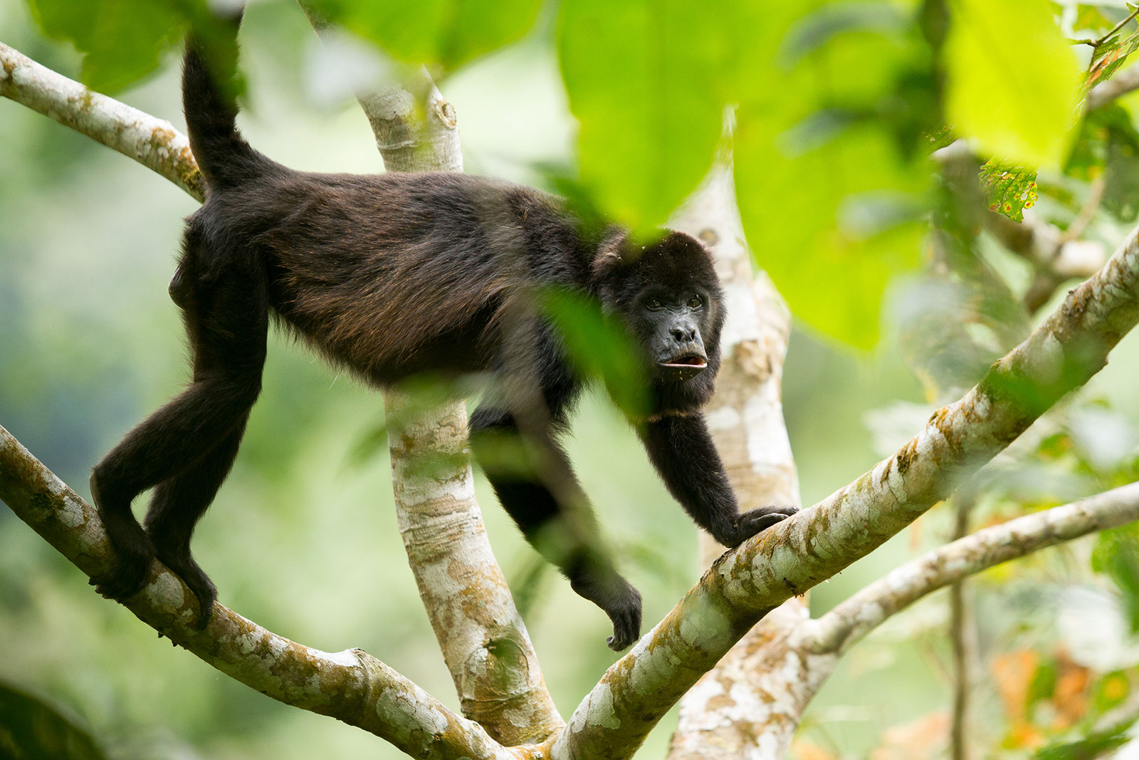 A dark brown monkey climbing a white tree