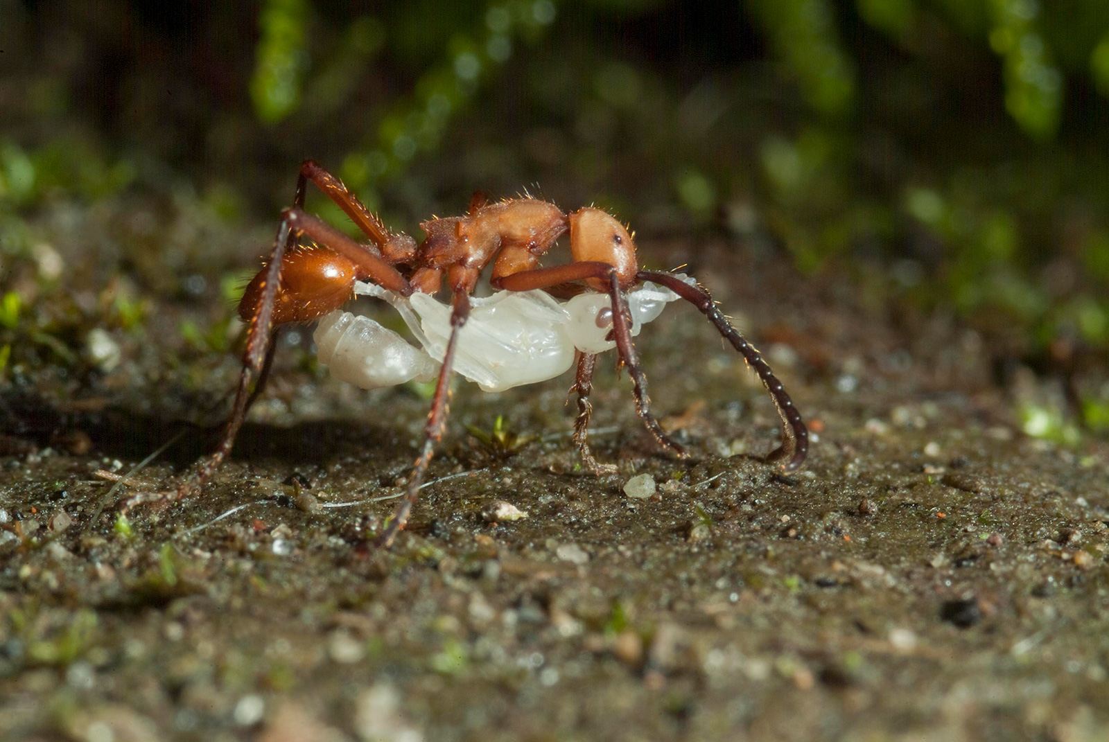 A large ant on the forest floor