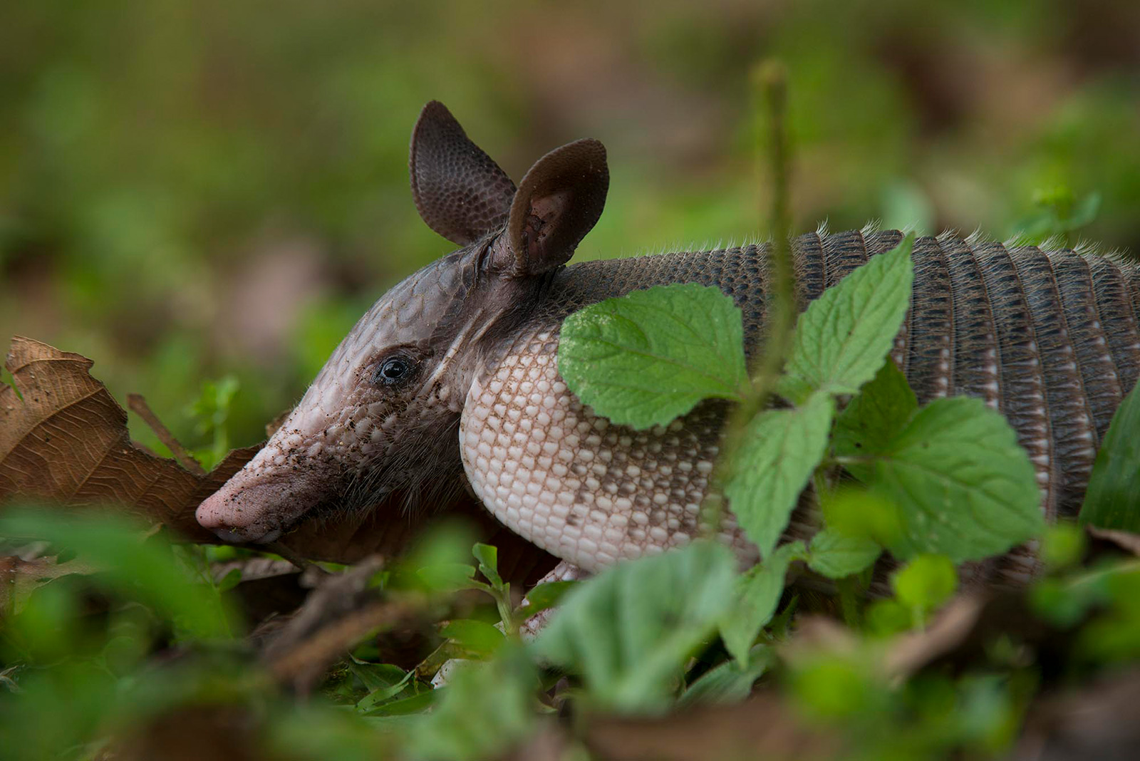 An armadillo on the forest floor