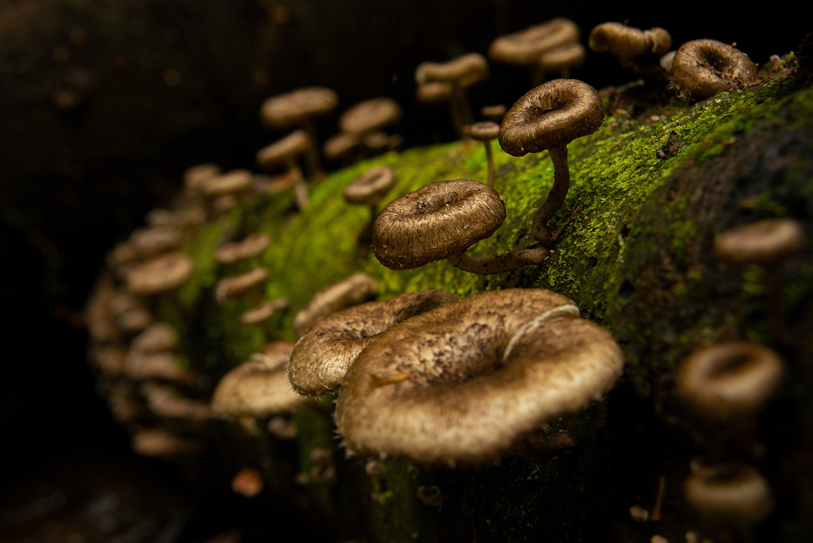 A colony of small mushrooms grows on a mossy log