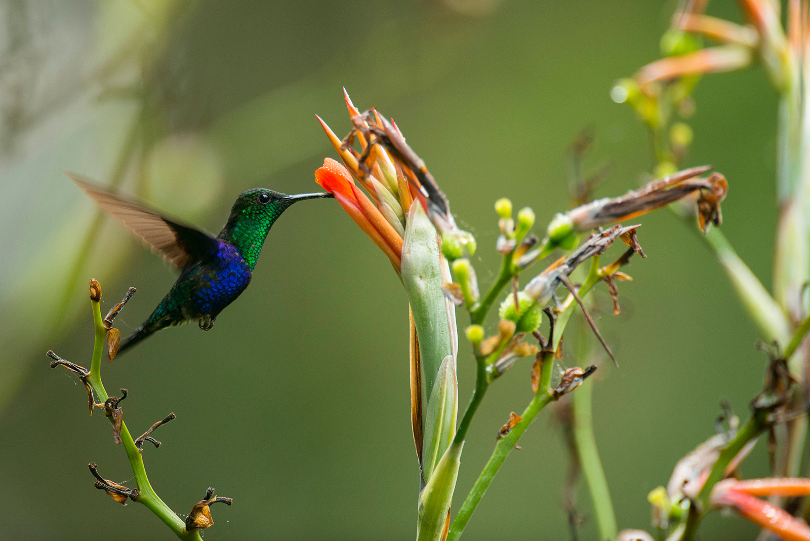 A green and blue hummingbird feeds on a bright orange flower