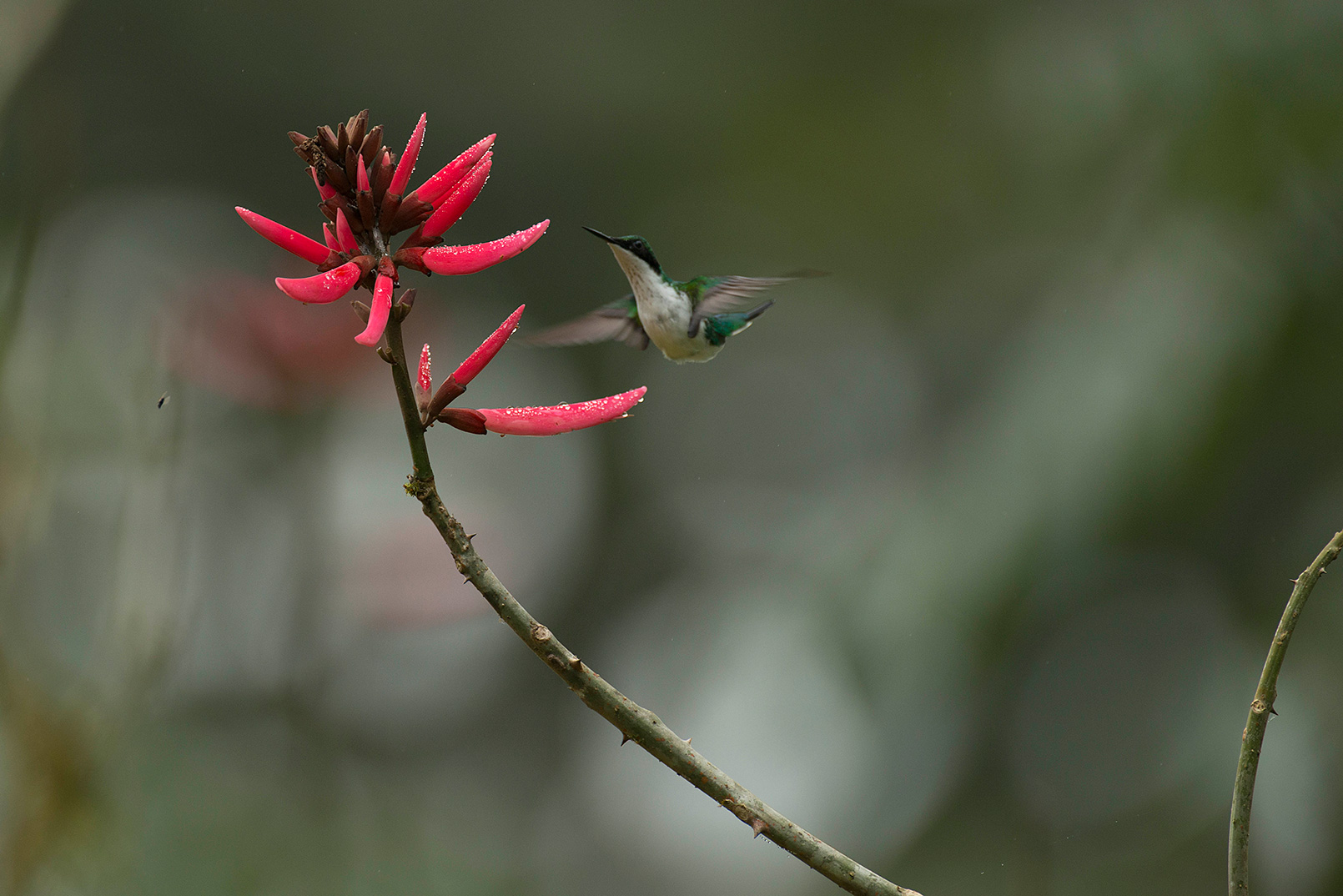 A hummingbird about to feed on the nectar of a bright red flower