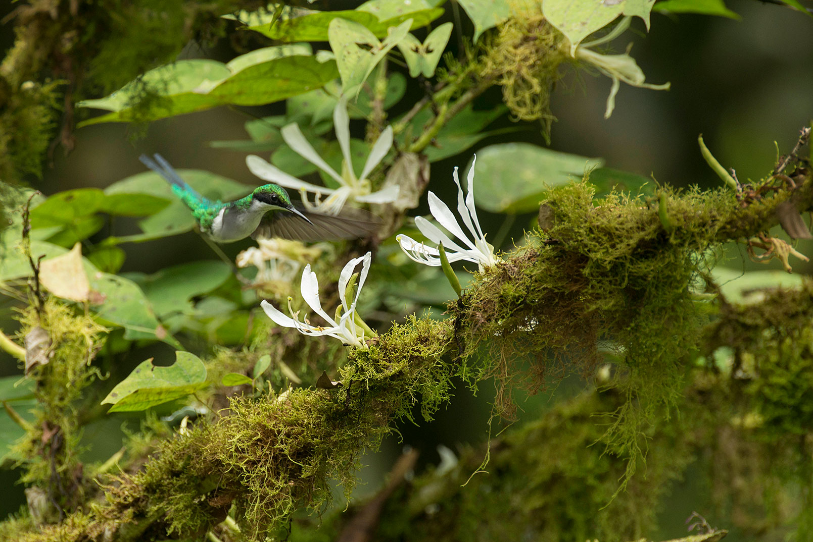 A florescent green hummingbird approaches white flowers growing on mossy branches