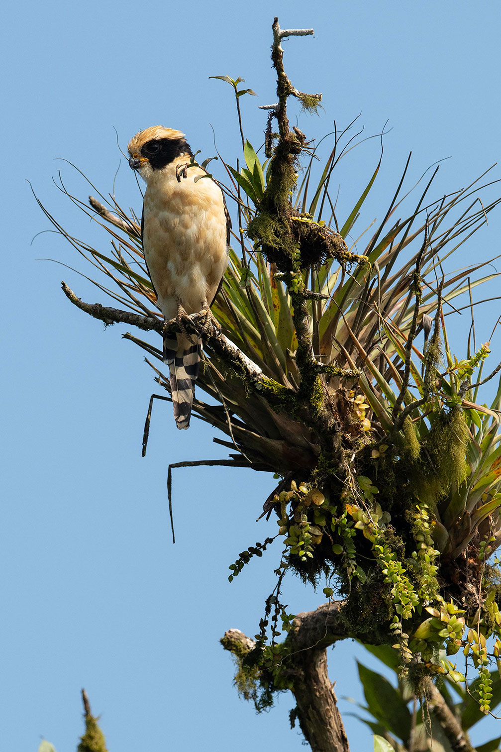 A large bird atop a tall tree watches the forest below