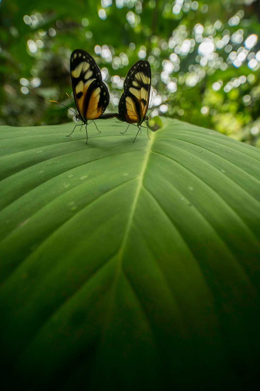 A pair of butterflies mate on a large leaf