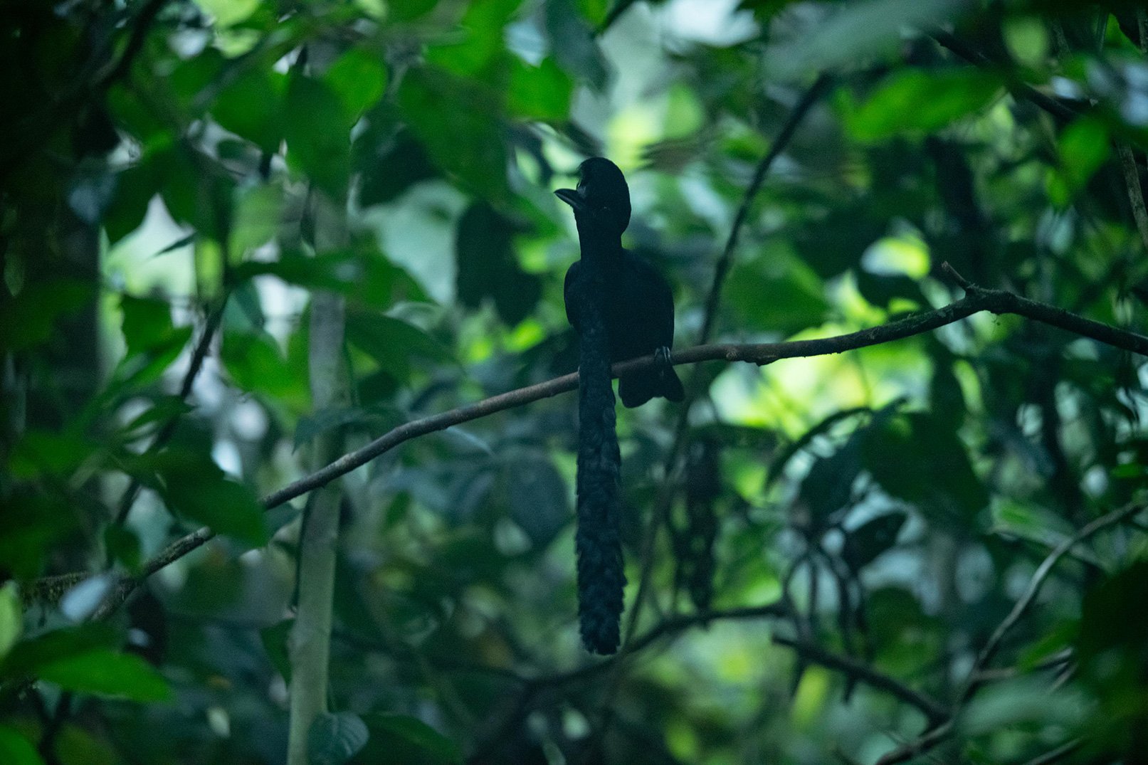 An Umbrellabird sitting on a thin tree branch
