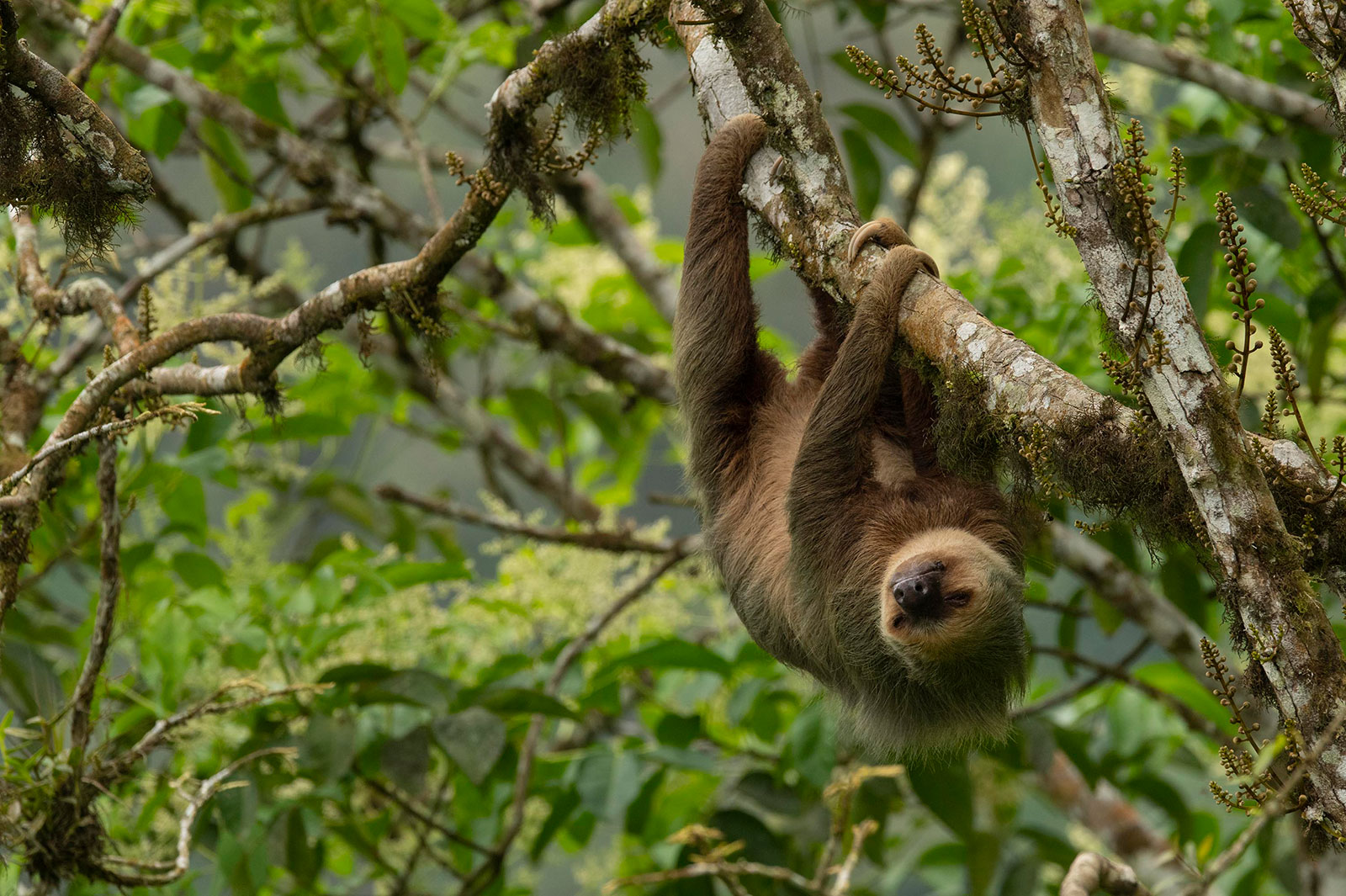 A sloth sleeps in the forest