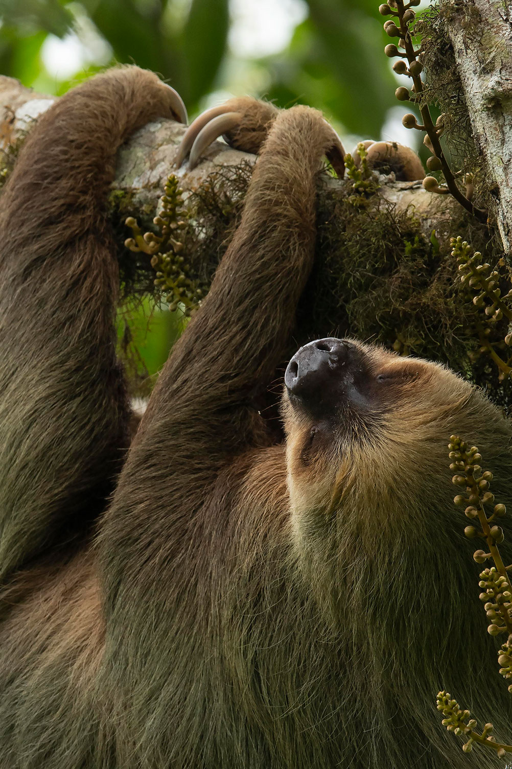 A sloth sleeps while hanging from a tree