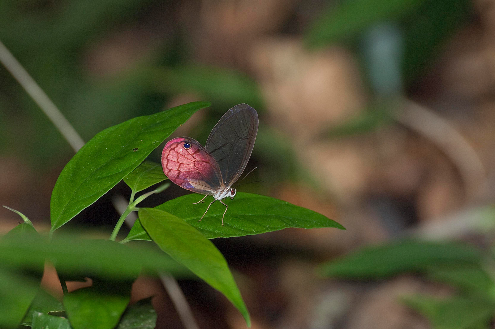 A maroon butterfly sits on a leaf
