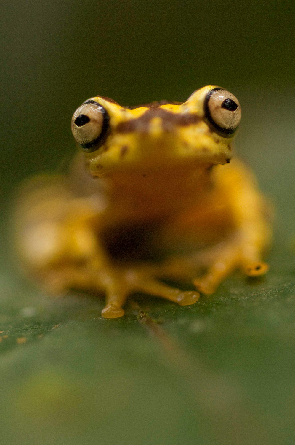 A yellow and black frog on a leaf