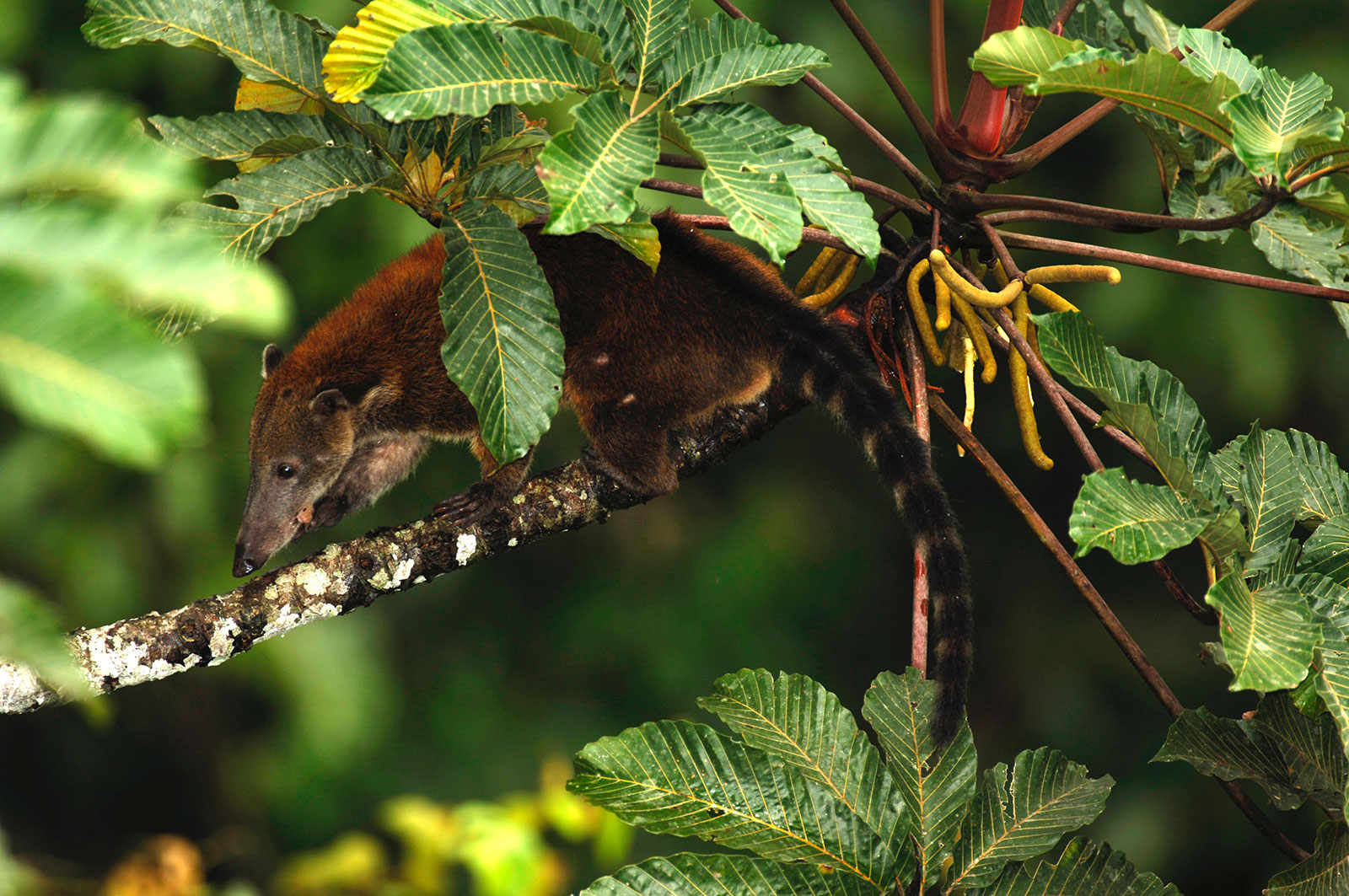 A coati climbs through the trees