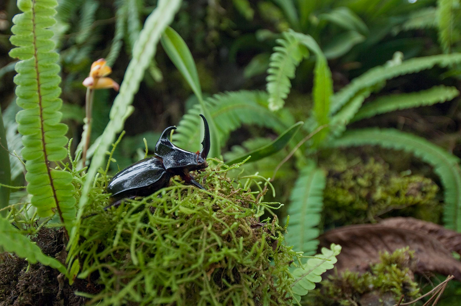 A rhinoceros beetle crawls through the forest