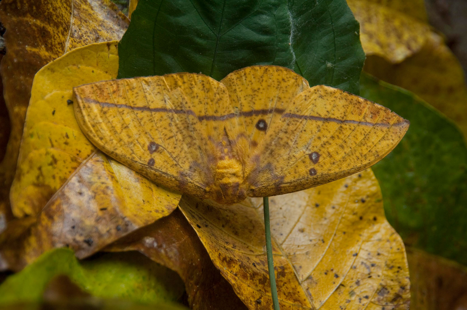 A yellow moth camouflaged among leaves