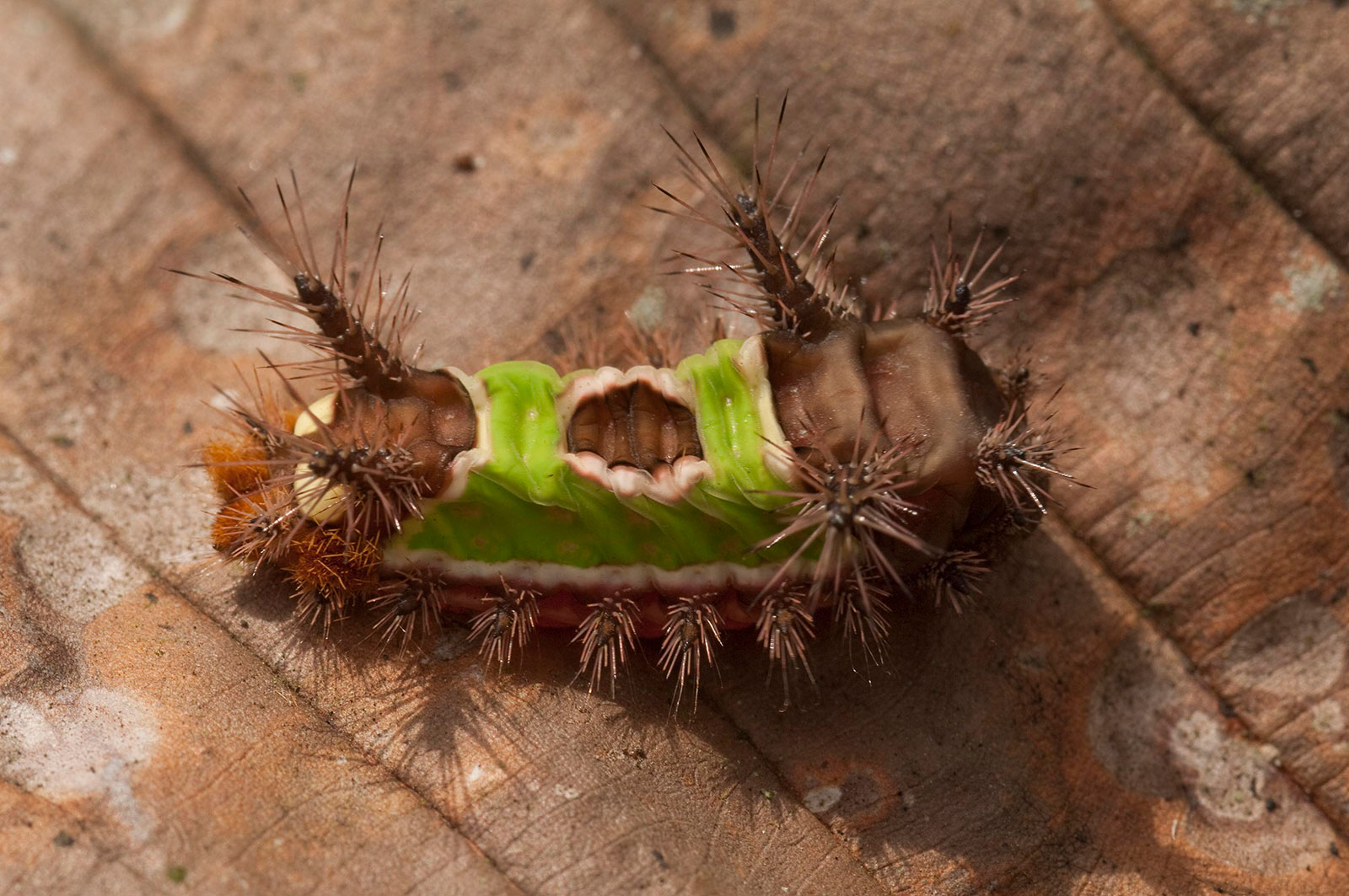 A spiny caterpillar on a leaf