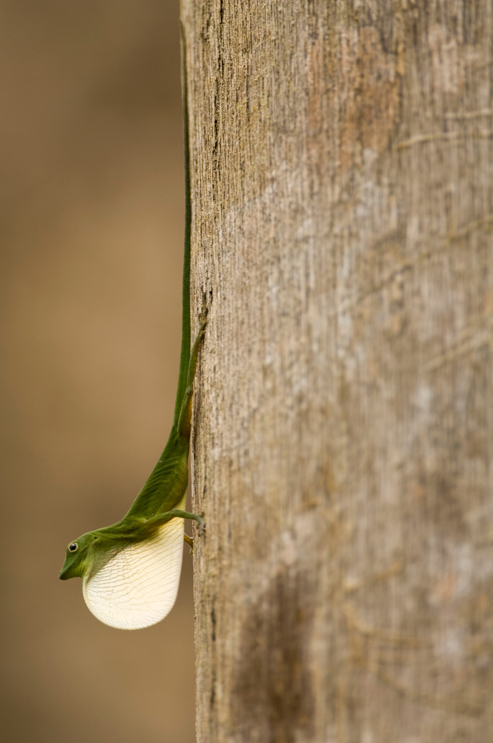 A small green lizard extends its large white throat
