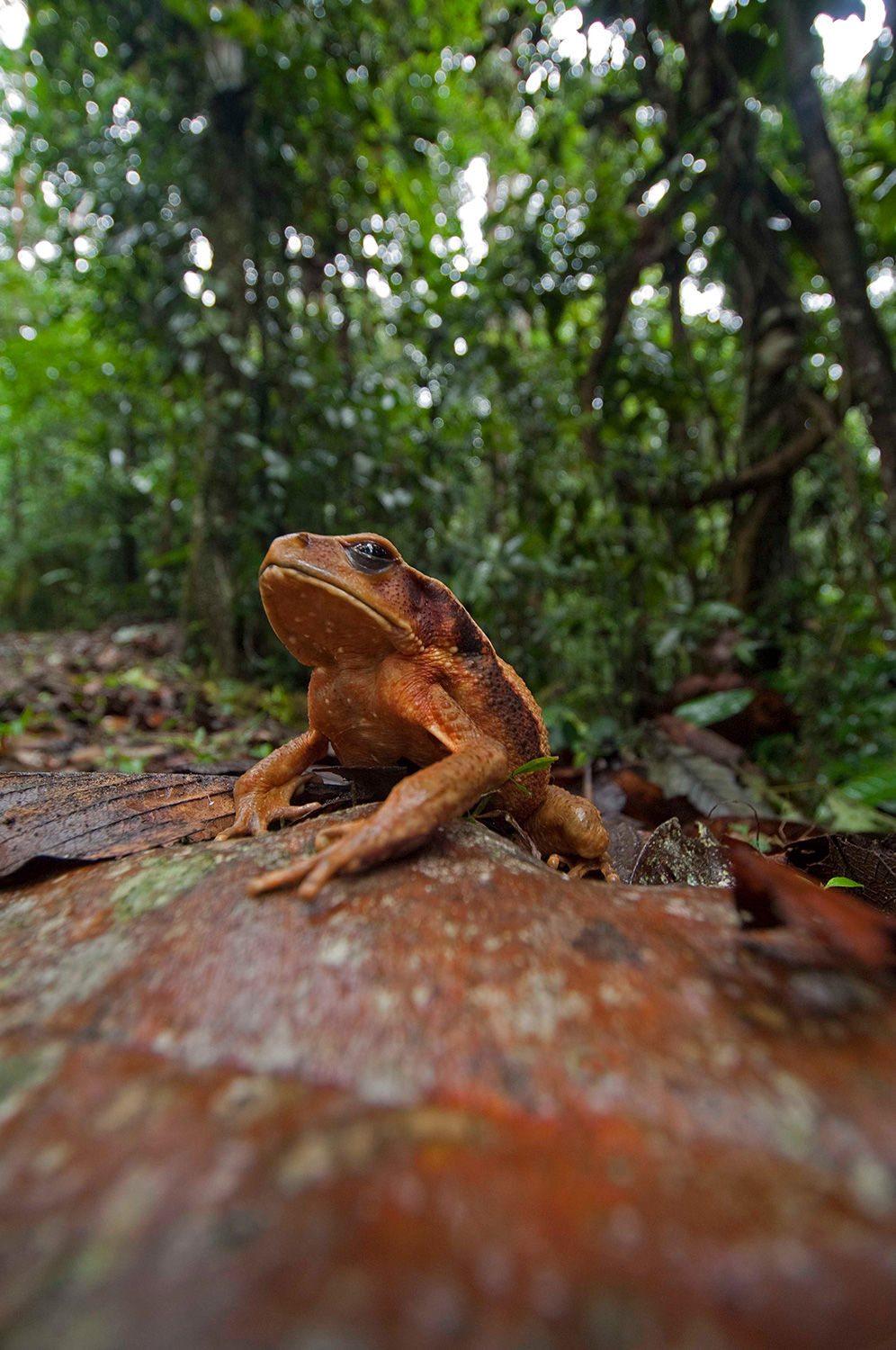 A large toad on the forest floor