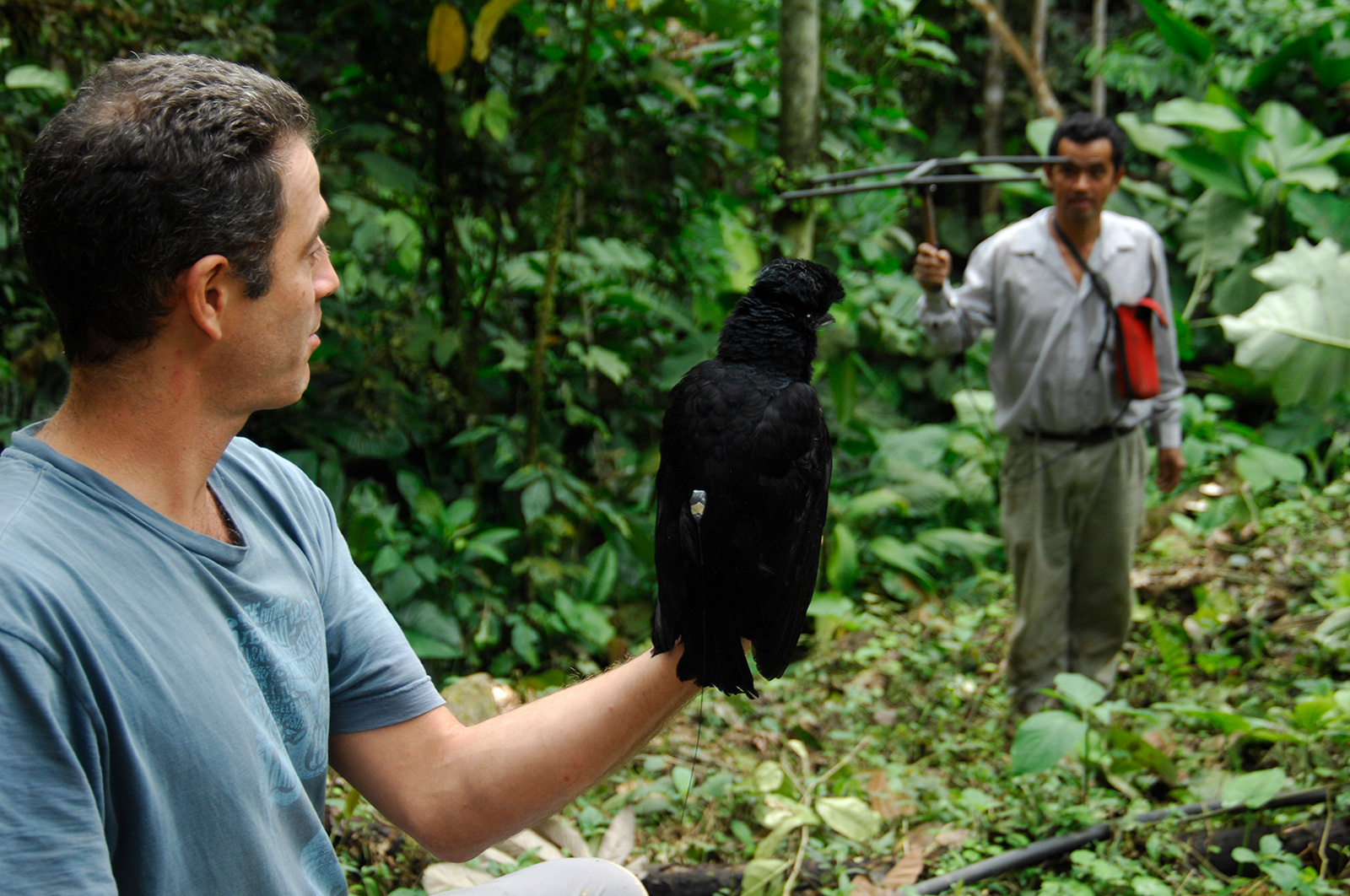 One team member holds an Umbrellabird while another person holds a perch for it to land on