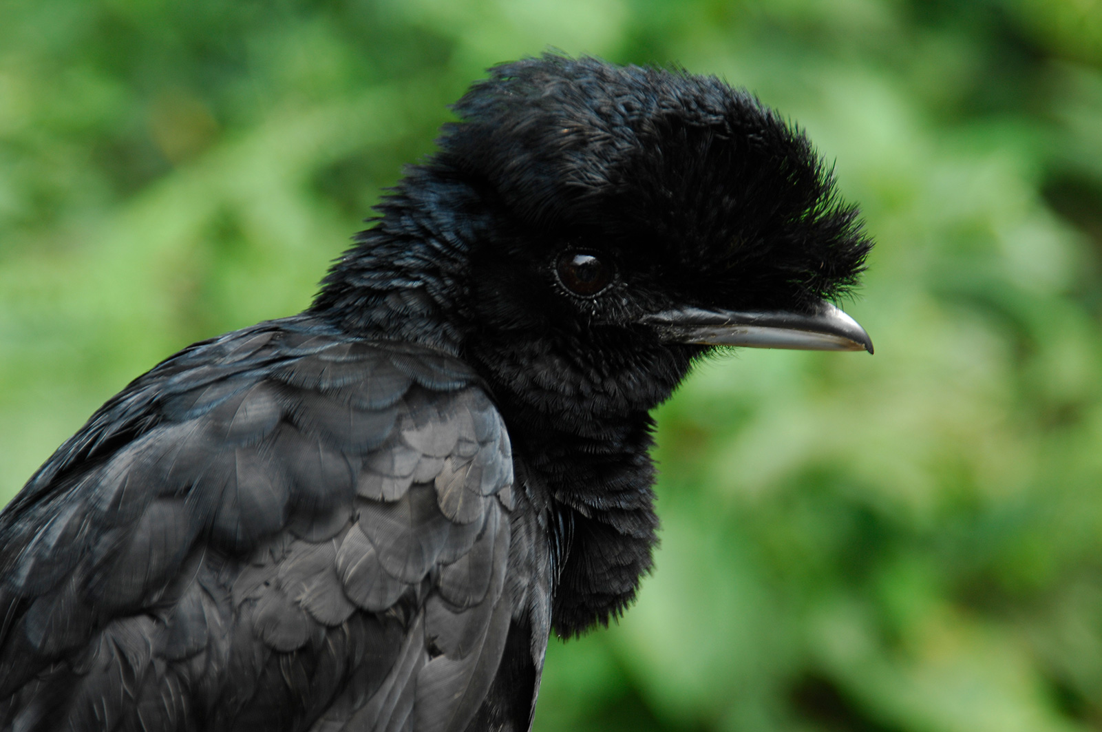 A close up of an Umbrellabird