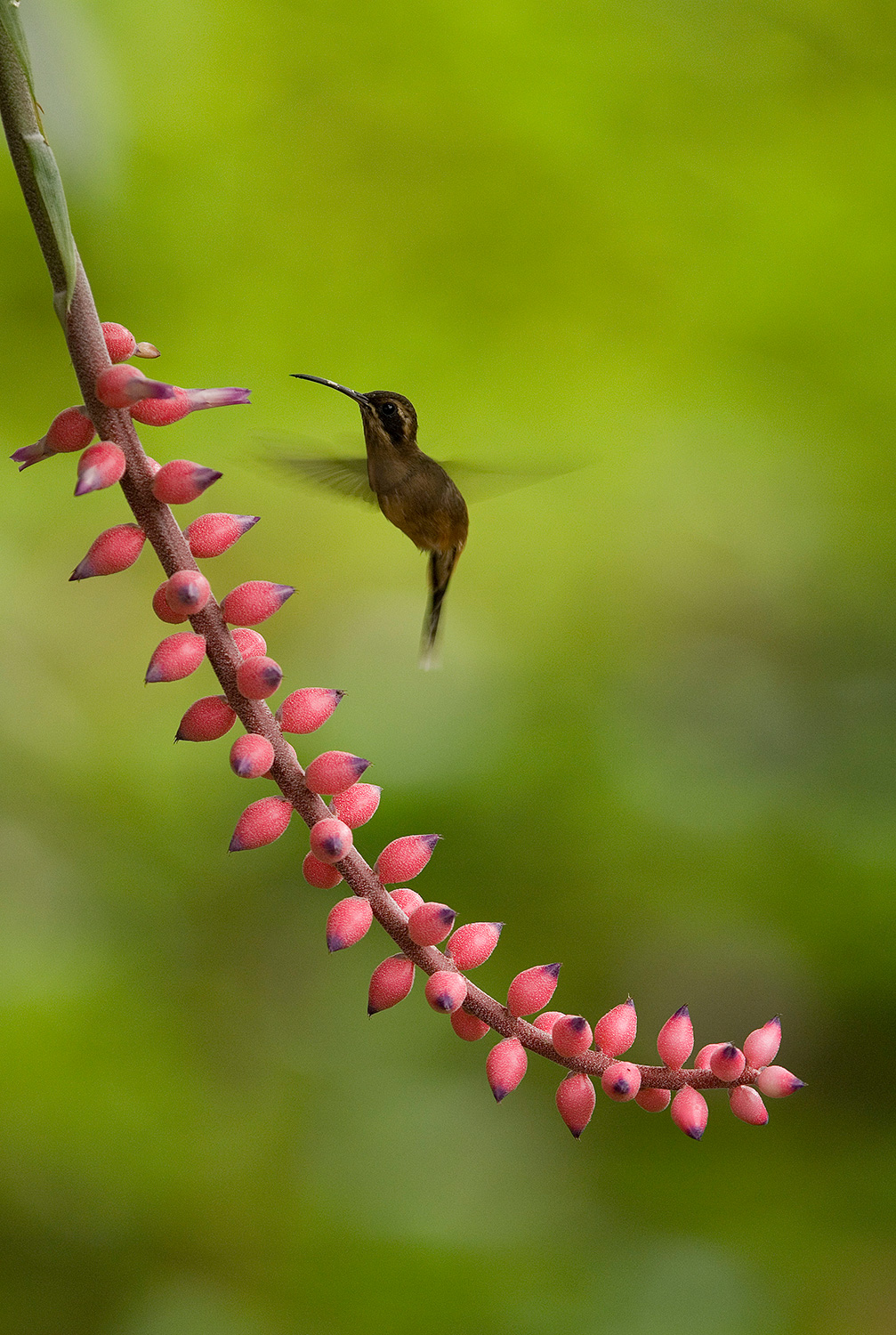 A hummingbird approaches a long branch covered in small pink flowers