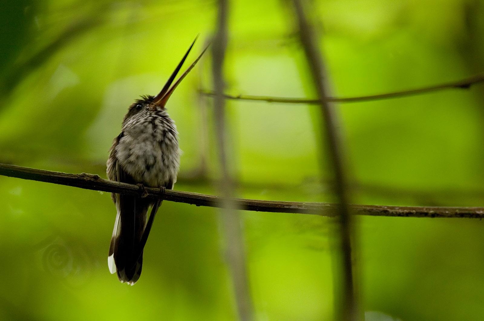 A small bird with a very long, slender beak perched on a branch